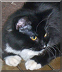 Isabelle the Longhair Tuxedo
