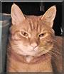 Garfield the Orange Tabby