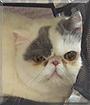 Rascal the Persian Cat