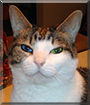 Olive the Domestic Shorthair