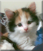 Fluffy the Calico