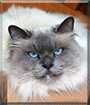 Booster the Holy Birman