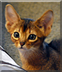 Puma the Abyssinian