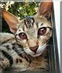 Elly the (maybe Mau) Cat