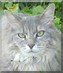 Glenda the Maine Coon mix