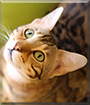 Hummer the Bengal Cat