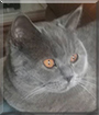 Theon the British Shorthair