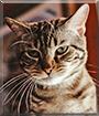 Poseidon the American Shorthair