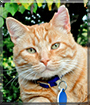 Spenser the Domestic Shorthair Orange Tabby