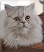 Dempsey the Persian Cat