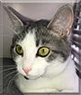 Hazey the Shorthair Cat
