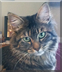 Amber the Maine Coon mix