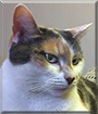 Meena the Calico Cat