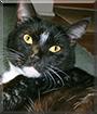 Felix the American Domestic Shorthair
