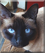 Layla the Seal Point Siamese
