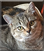Nancy the British Shorthair Tabby