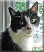 Skittles the Tuxedo Cat