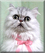 Lady the Persian Cat