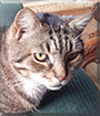 Tiger the Tabby