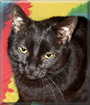 Shadow the American Shorthair Mix