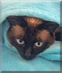 Gismo the Siamese Cat