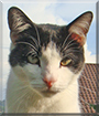 Carlos the Shorthair Cat