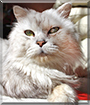 Irbis the Chinchilla Persian mix