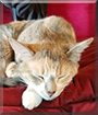 Bowie the Domestic Shorthair