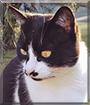 Milby the Tuxedo Cat