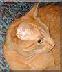 Timon the Ginger Tabby