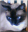 Chance the Siamese mix