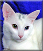 Magno the American Shorthair