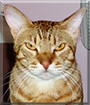 Max the Ocicat