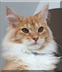 Max the Maine Coon