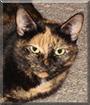 Macy the Tortoiseshell cat