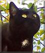 Minki the Shorthair Cat