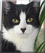 Maja the Tuxedo Cat
