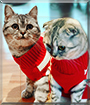 Fiji and Fendi the  British Shorthair, Scottish Fold