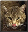 Millie the Brown Tabby