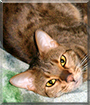 Athena the Bengal Cat