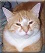 Snagglepoose the American Shorthair