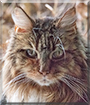Arwen the Maine Coon