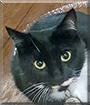 Mamba the Tuxedo Cat