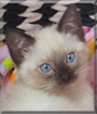 Bebe the Seal Point Siamese mix