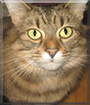 Belle the Domestic Tabby