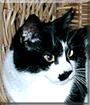 Slushy the Tuxedo Cat