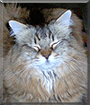 Lunchbox the Maine Coon