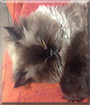 Pupas the Persian