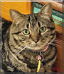 Zola the Domestic Shorthair Tabby