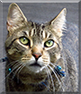 Buck the American Tabby Cat